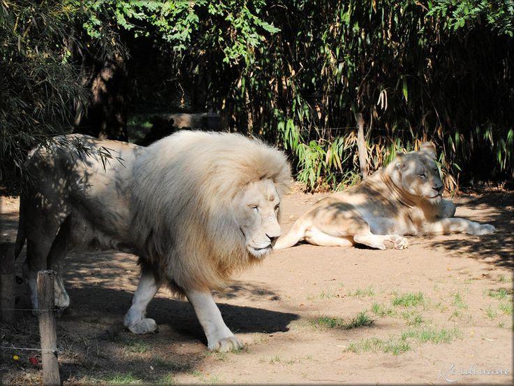 Les 25 meilleures id es concernant lion blanc sur for Lions du meuble