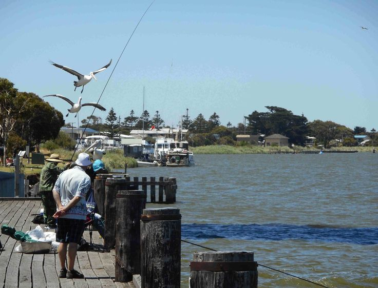 More pelicans! This time at Goolwa, South Australia, just after Christmas 2015.