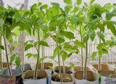 ЧТОБЫ РАССАДА НЕ ВЫТЯГИВАЛАСЬ Не нужно спешить и сеять семена на рассаду слишком рано. У каждой культуры есть оптимальный возраст, когда её лучше высаживать в грунт. Для тыквы, патиссона, кабачка, дыни и арбуза — это 20-30 дней, для капусты белокочанной ранних сортов — 40-50, средних и поздних — 30-40, салата — 30-35, томат нужно высаживать в грунт в возрасте 50-55 дней, перец, баклажан, сельдерей — 60-65.  Исходя из этого, и высчитывается срок посева, хотя растения с длин...
