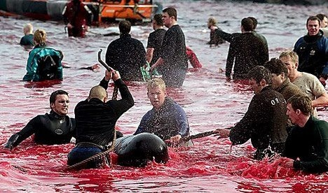 """Dolphin & Whale Massacre in Denmark!!! Gruesome Festival: Mass Killing of Whales and Dolphins To Prove Adulthood!!!    This brutal bloody slaughter take place in ...the Faroe Islands, which belong to Denmark. To initiate into adulthood it is mandatory to kill a dolphin or a whale.         This atrocious slaughter has been practiced since at least the 10th century. Nearly 1,000 are killed annually in the """"grindadráp"""" — whale hunt — typically occurring during summer months."""