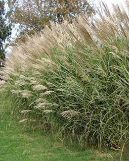 Miscanthus sinensis 39 silberfeder 39 silver feather grass for Ornamental grass with white plumes
