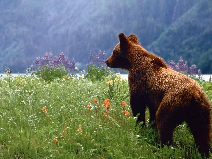 Bears ...