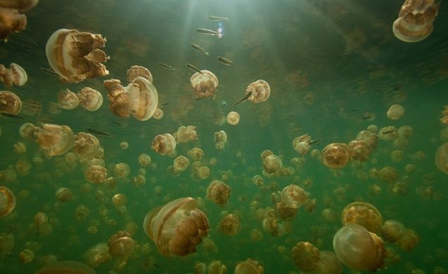 Jellyfish Lake, Palau: Swimming in a lake full of jellyfish might sound like a form of medieval torture. But in a freshwater lake of Palau's Rock Islands, the predator-less jellyfish have lost their ability to sting. (Courtesy Hook Line and Thinker)