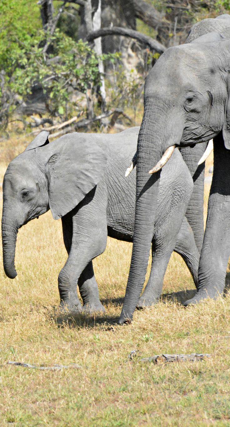 Botswana elephants (Wil 5326C)