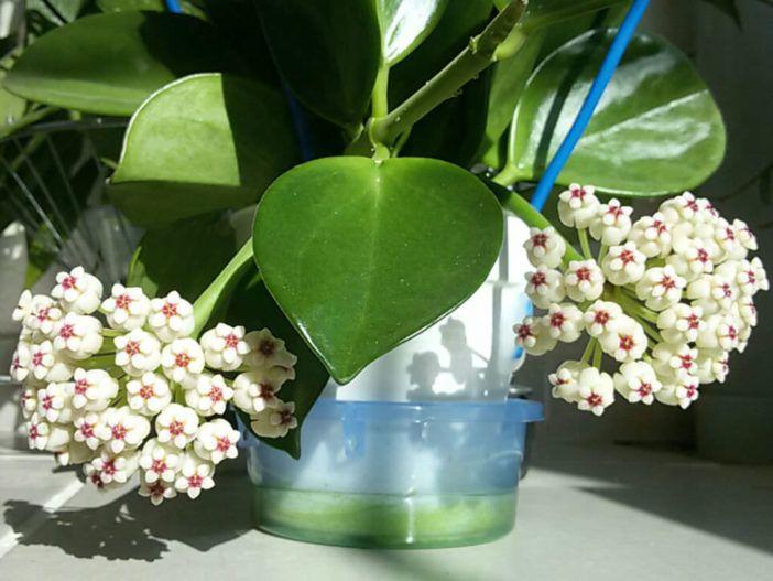 Hoya Pachyclada Red Corona Wax Plant Con Immagini