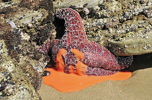 Ooozing Starfish, Reproduction in Death by Sheila Fitzgerald