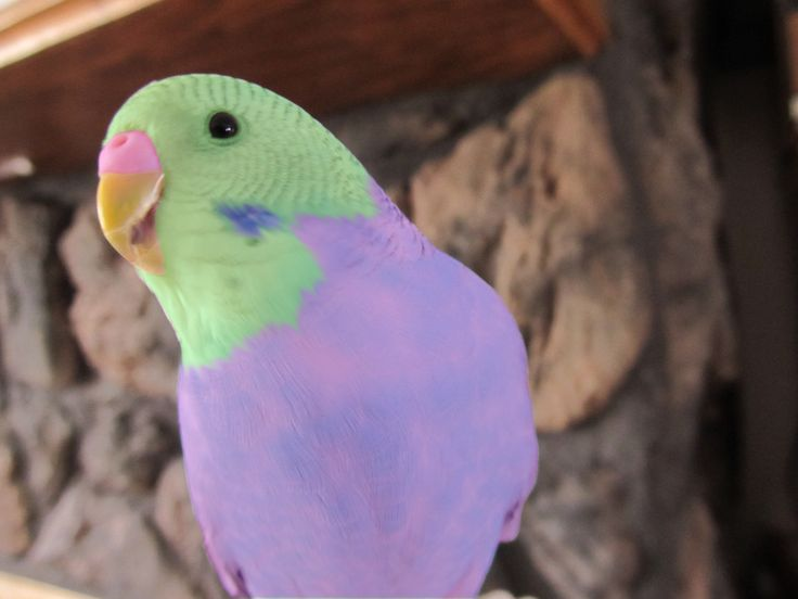 Rare Budgie rare budgie colors colored parakeet a parakeet in flight ...