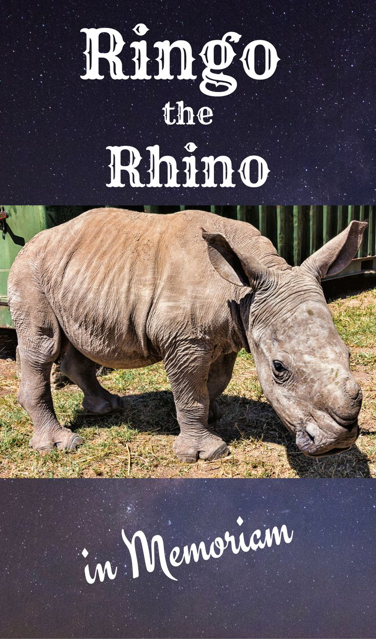 We met adorable Ringo the Rhino in Kenya in 2015. This is for his memory and important legacy for the conservation efforts for all rhinos.