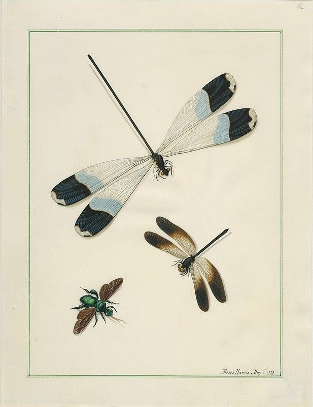 """Watercolor painting of two dragonflies and a beetle defined framework. Note: in the lower right corner of the signature """"Moses Harris May.1; 1779 """""""