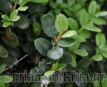 Πυξός Πυξάρι Buxus sempervirens