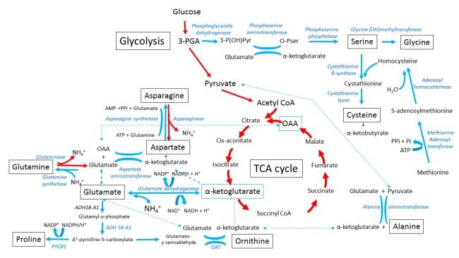 Figure 1. Pathways involved in the synthesis of non-essential amino acids glycine, alanine, serine cysteine, aspartic acid, asparagine, glutamic acid, glutamine, proline and ornithine[3]. Click for enlarged view.  Enzyme abreviations: ADH18-A1: aldehyde dehydrogenase 18 family, member A1; PYCR1: pyrroline-5-carboxylate reductase 1; OAT: ornithine aminotransferase. The glycolytic intermediates 3-phosphoglycerate and pyruvate are used in the synthesis of serine, glycine, cysteine and alanine…