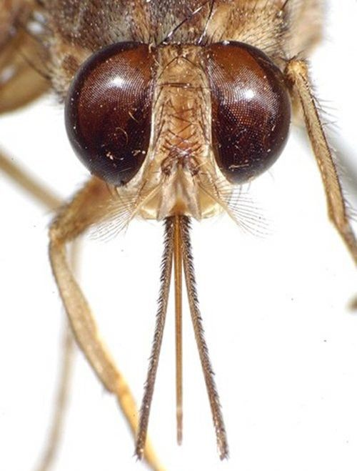 A close-up of a Tsetse fly Though roughly similar to a housefly in appearance, tsetse flies come equipped with a large proboscis, which they use to feed on the blood of large vertebrates. (Yes, that includes humans).