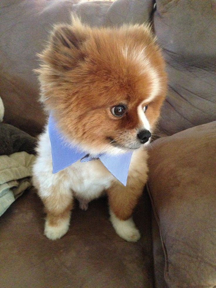 pomeranian collar 17 best images about pommies on pinterest cutest dogs 133