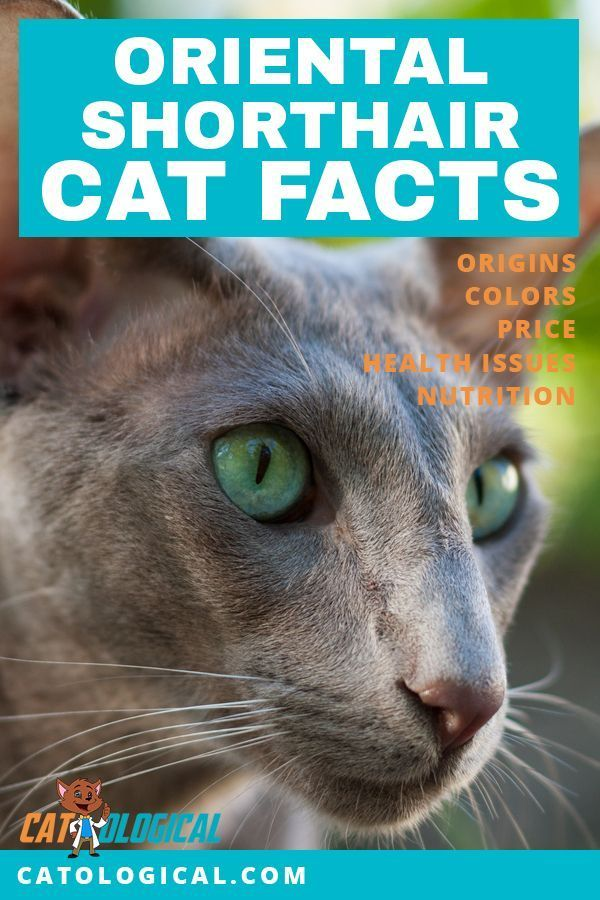 Learn Some Amazing Facts About Oriental Shorthair Cats And Kittens
