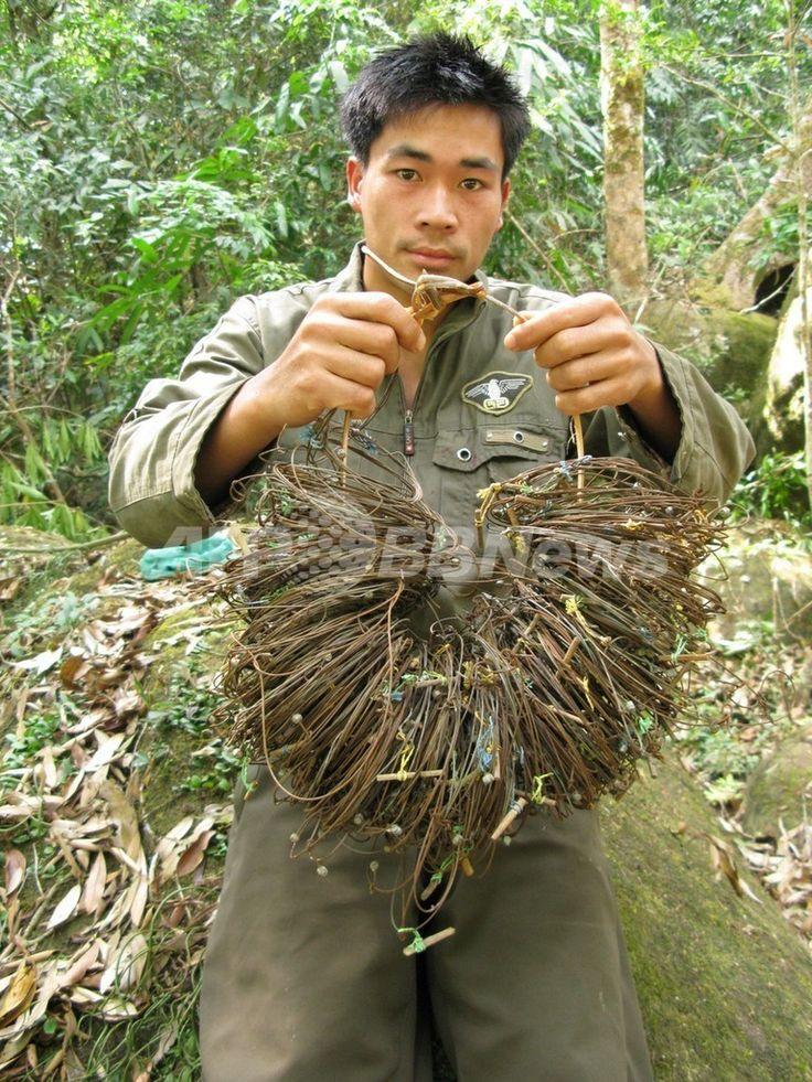 ラオス中部のNakai-Nam Theun国立保護地区のサオラの生息地で、ワイヤで作ったわなを回収したパトロール隊員(1996年撮影、2013年11月13日提供、資料写真FILE)。(c)AFP/WWF/William Robichaud ▼14Nov2013AFP|絶滅危惧種サオラ、ベトナムで15年ぶりに撮影 WWF http://www.afpbb.com/articles/-/3003248