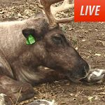 Animal Planet Live - Reindeer Cam: This will be on our big screen in the library this week!