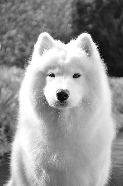 Best 25 siberian samoyed ideas on pinterest samoyed dog black and white samoyed dog voltagebd Image collections