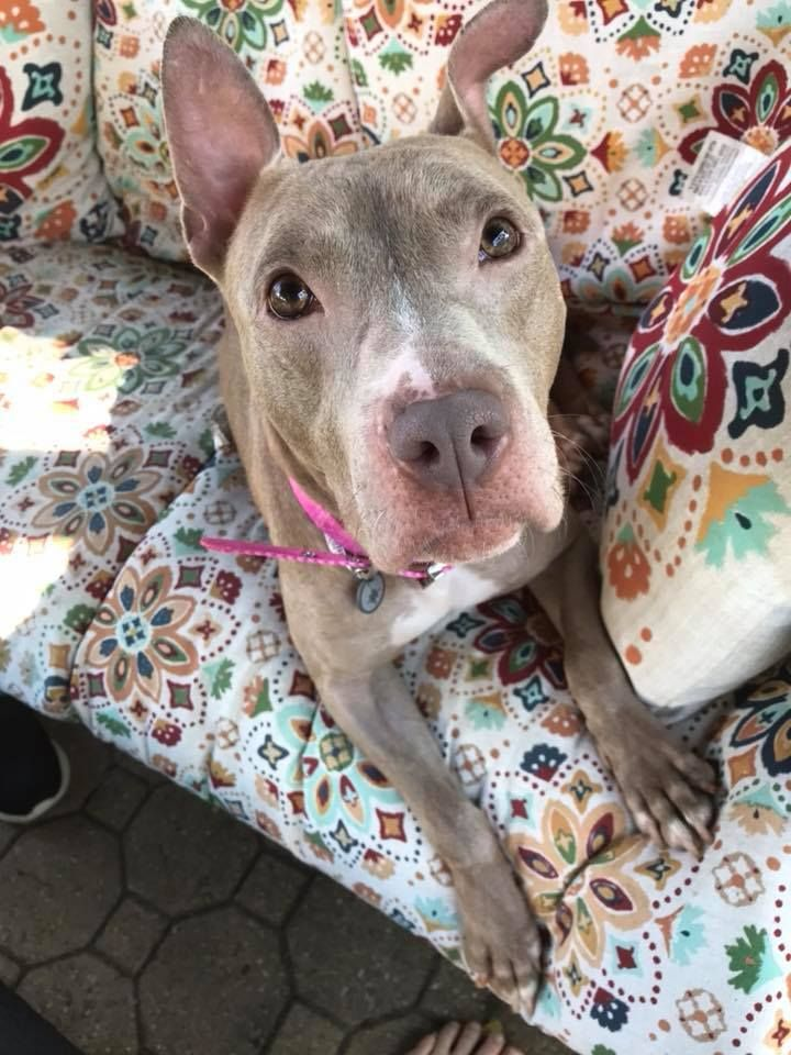 Adopt Daisy On Petfinder Terrier Mix Dogs Pitbull Terrier Bull Terrier Mix