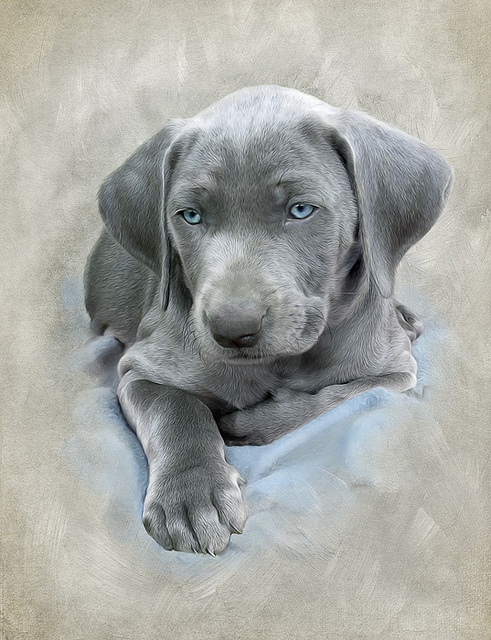 blue weim. This puppy looks like my two girls when they were pups!