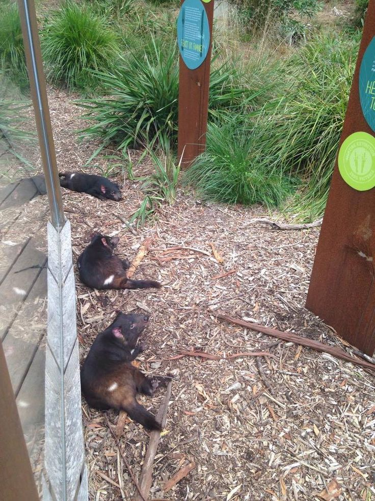Suns out, tums out! The Tasmanian Devils at Healesville Sanctuary are getting their daily dose of Vitamin D!