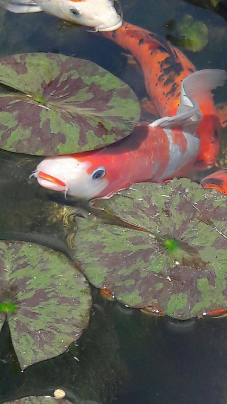 1211 best koi pond u0027s and koi includes other fish art