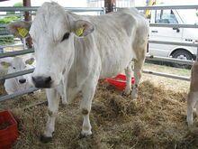Marchigiana (Italian-meat & draught)  Wikipedia, the free encyclopedia