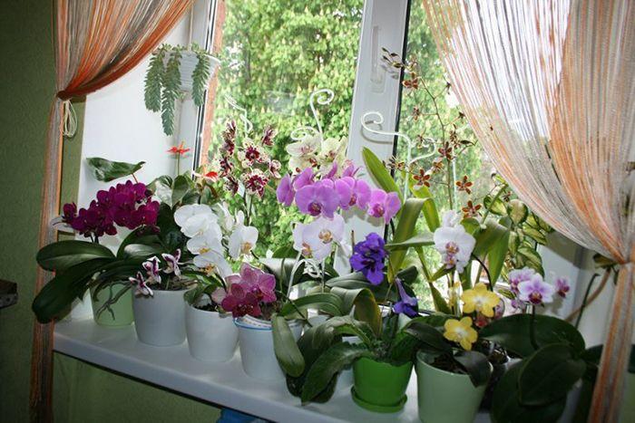 реанимация орхидей в тепличке