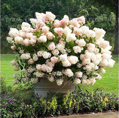 unidsbolsa vainilla fresa flor hortensia semillas para la plantacin de flores bonsai o