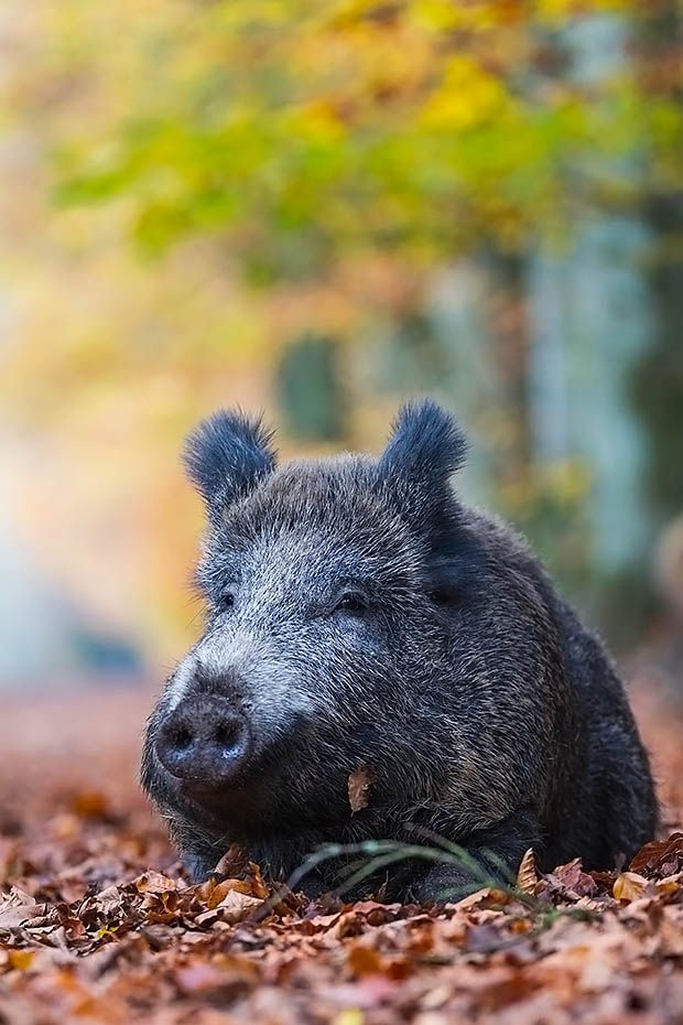 Wildschweinbache ruht im Buchenlaub am Waldrand - (Schwarzwild), Sus scrofa, Wild Boar sow rests in beech leaves at forest edge - (European Boar - Feral Pig)