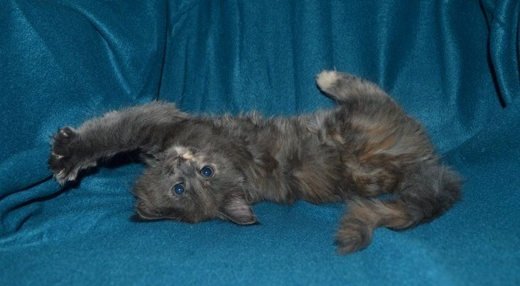 """Maine Coon, Kitten cuteness overload. Ongermuscoons Athena (blue torti) """"i'm adorable!"""" Photo by #catteryOngermuscoons"""