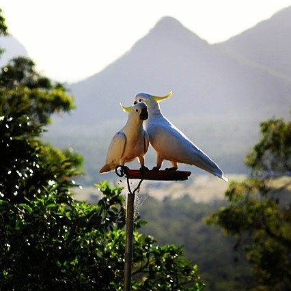 These Sulphur Crested Cockatoos consider themselves pretty darn lucky to call Uluramaya Retreat home! With fantastic views of the Glasshouse Mountains they can enjoy the Australian bush at its finest #thisisqueensland by @uluramayaretreat