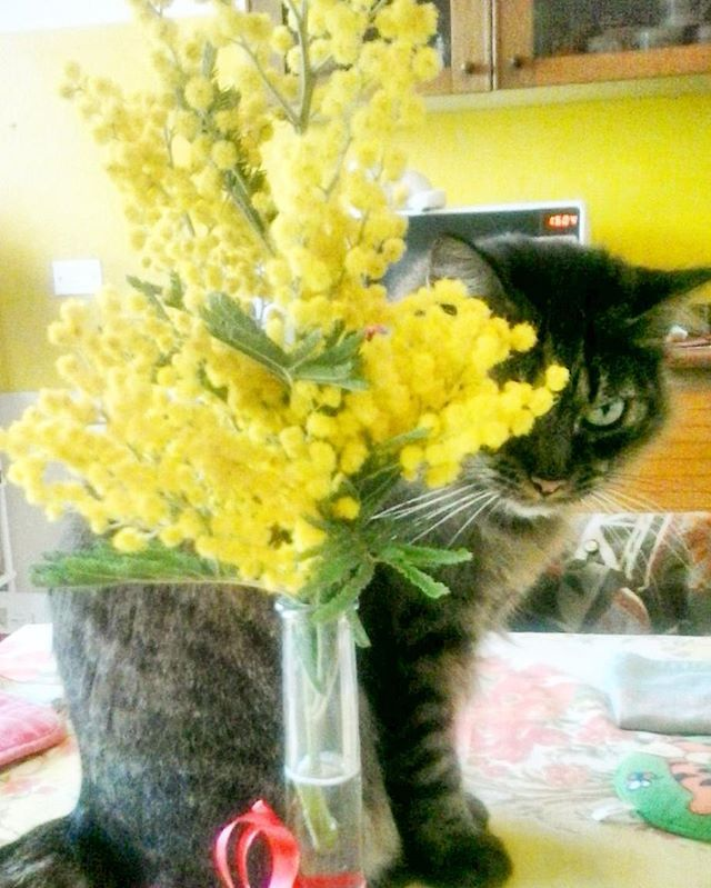 #miaooo!!! Buona #festa della #donna a tutte le #gatte e alle loro umane! Però la #mimosa non mangiatela, eh! #Kitty #instakitty #instacat #catsofinstagram