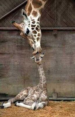 Mother's love - baby giraffe with mommy, getting a kiss on the