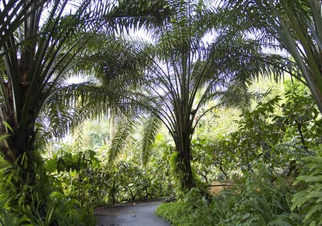 Oil palm, Elaeis guineensis, plant facts - Eden Project