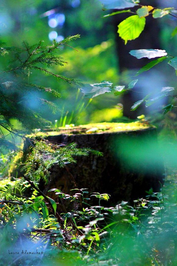 Padure izvorul Olt, Harghita