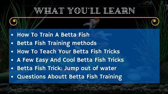 Betta fish tricks training tropical fish care guides for Betta fish training