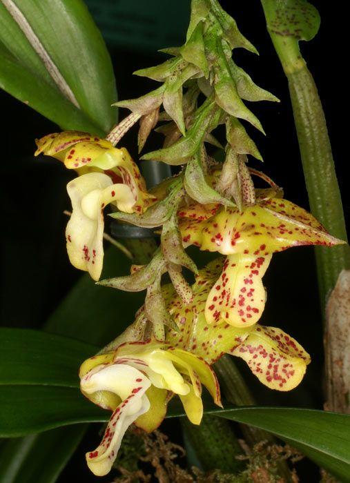 Polystachya maculata