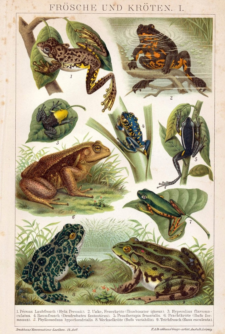 1894 Antique Brilliantly Coloured German Chromolithograph of Frogs. $18.00, via Etsy.