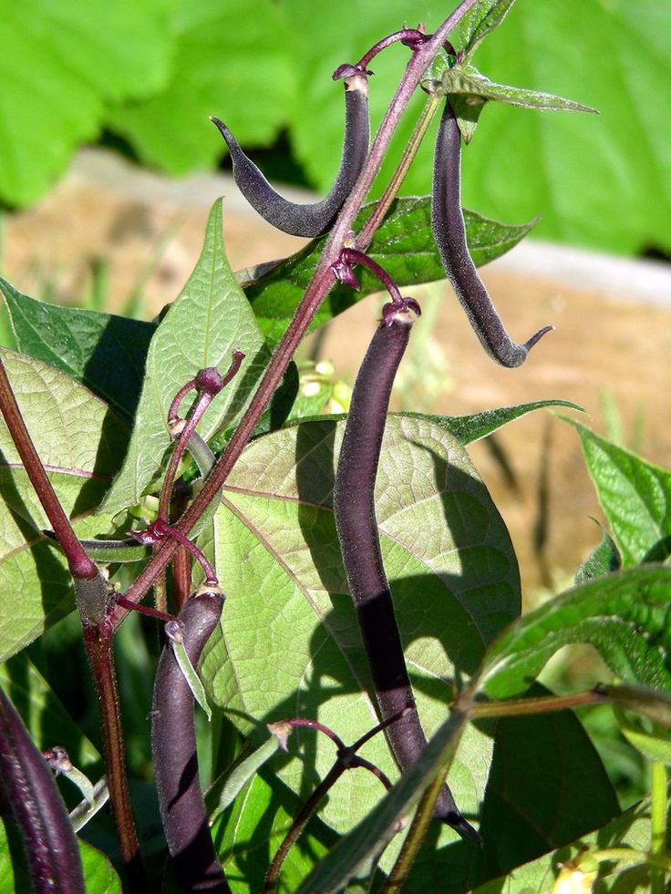 By Heather Rhoades Gardeners have been growing bush beans in their gardens for almost as long as there have been gardens. Beans are a wonderful food that can be used either as a green vegetable or an important protein source. Learning how to plant bush beans is not hard. Keep reading to learn more about…