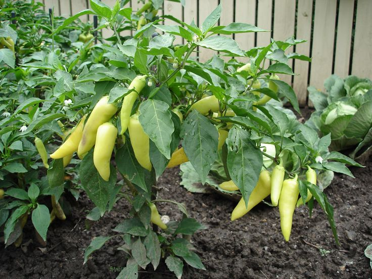 Growing Peppers - Peppers are one of the easiest and most satisfying vegetable plants to grow. This Sweet Banana pepper plant is an All America Selection that grows well in all regions.