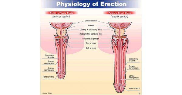 az erekció fázisai