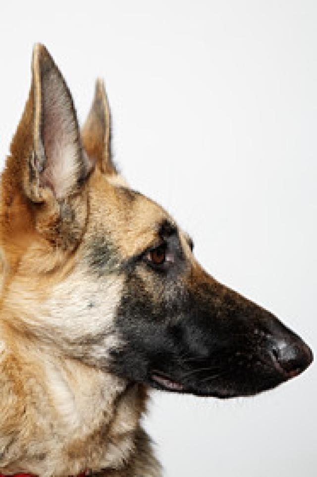 palika german shepherd dog pdf