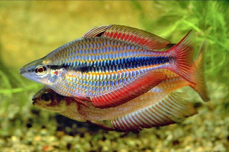 9 best rainbowfish images on pinterest fish aquariums for Rainbow fish species