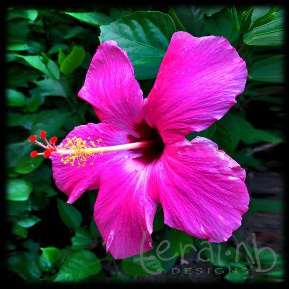 Hibiscus Photo. Pink Hibiscus Photo. Gumamela by terainbDesigns