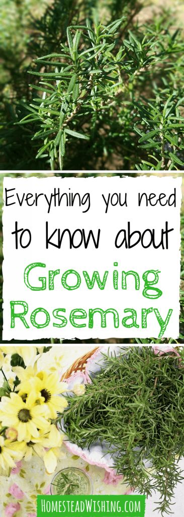 When I first started growing rosemary, I had a hard time. In fact, I killed a few plants at first. Trial and error showed me the way, now I'll show you! | Homestead Wishing, Author Kristi Wheeler | http://homesteadwishing.com/growing-rosemary/ | growing-rosemary, herb-gardening |