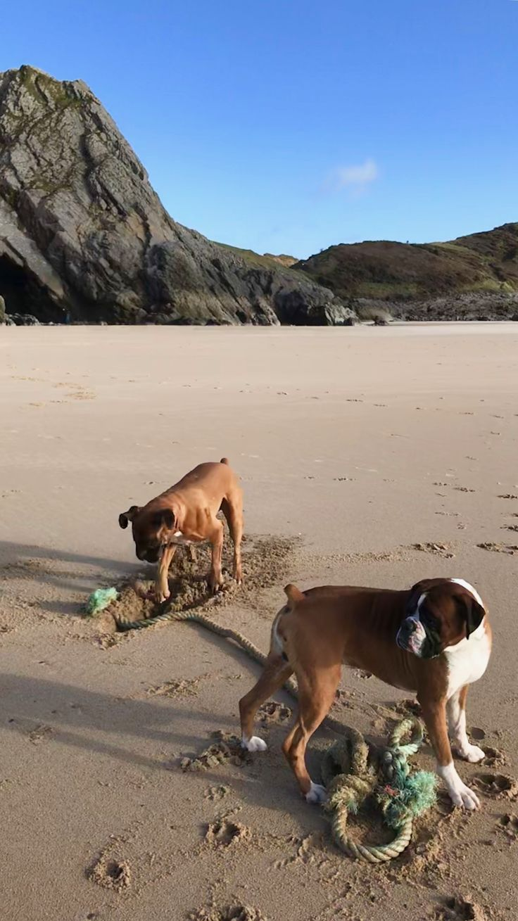 More beach shenanigans with a big rope with Ike distracted by people walking their dogs in the distance as Henry digs on...