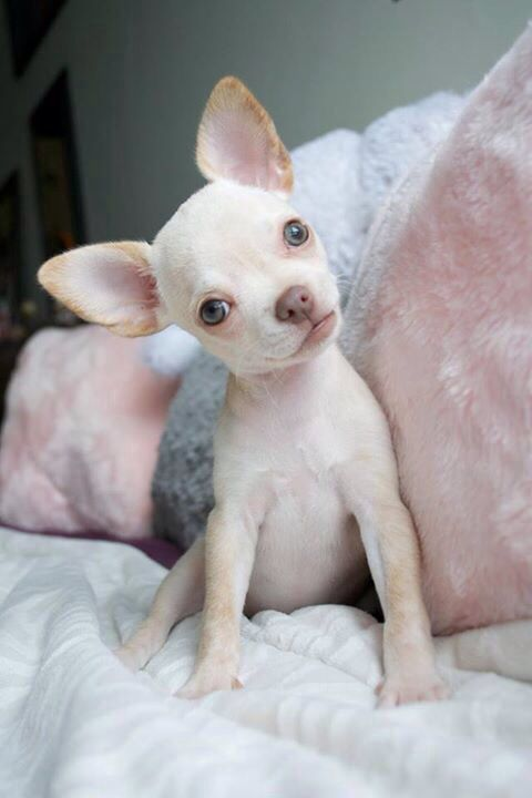 naked chihuahua 17 best ideas about teacup chiwawa on pinterest teacup 5127