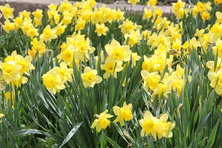 21 best My Iris images on Pinterest | Irise, Irises and Lilies