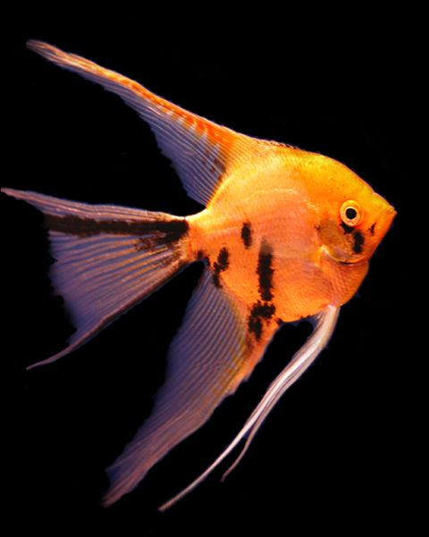Gold Marble Angelfish