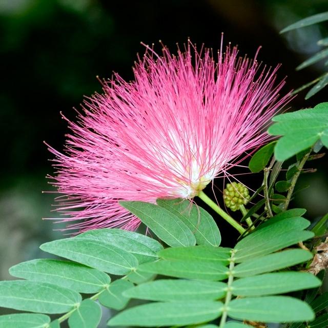 Mimosa Tree Flower - had this tree in Brooklyn